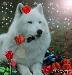 See the PicMix Wolf belonging to Wolfjen on PicMix. Wolf Images, Wolf Photos, Wolf Pictures, Beautiful Wolves, Animals Beautiful, Lone Wolf Quotes, Wolf Artwork, Gato Gif, Wolf Spirit Animal