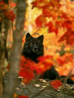 Black Timber Wolf Behind Autumn Foliage Photographic Print by Donald B. Grall Black Timber Wolf Behind Autumn Foliage Photographic Print by Donald B. Wolf Love, Beautiful Creatures, Animals Beautiful, Cute Animals, Wild Animals, Baby Animals, Autumn Animals, Wolf Pictures, Animal Pictures
