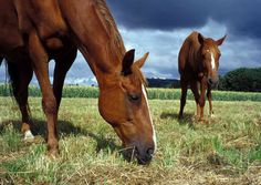Nutrition in the horse