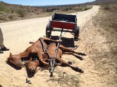Namibia: Horses whipped by teens because they did not run enough! Demand animal protection laws in the country! Sign the Petition here: http://www.yousignanimals.org/Namibia-Horses-whipped-by-tee… (Animal Petitions by YouSign.org) These horses were whipped by teens near Rehoboth, Namibia, due to the fact that they were not running fast enough. They colla...