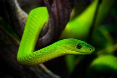 eastern green mamba - Google Search