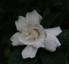 Vietchii Gardenia, Everblooming Gardenia-This is mine!