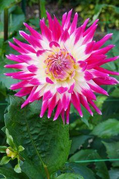 Posts about dahlia written by M. Parc Floral, Dahlia Flower, Permaculture, Garden Landscaping, Outdoor Gardens, Landscape, Nature, Plants, Beauty