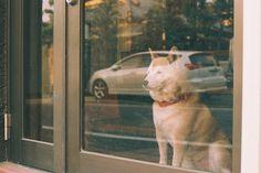 Items similar to Shiba Inu At Dusk 5 x 7 Photo Print on Etsy Shiba Inu, Solitude, Dusk, Daily Reflections, Animals, Animales, Animaux, Animal, Animais