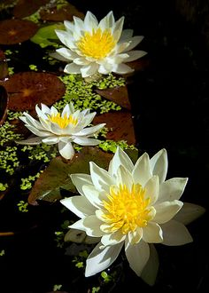 View on black -- Explore Water Flowers, Water Plants, Flowers Nature, Exotic Flowers, Amazing Flowers, Beautiful Flowers, Lotus Flower Pictures, Lotus Flower Art, Nymphaea Lotus