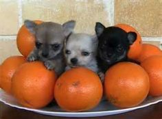 Chihuahuas in a fruit bowl ????????