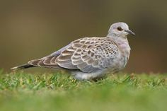 European turtle dove (Streptopelia turtur)