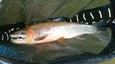 Montana cutthroat   Fly Fishing   Streamer Eater