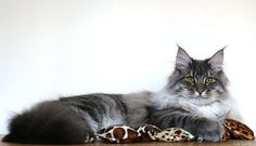 Sparrow's Nightmare Bill Bigsbee  A Maine Coon Cat