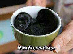 Teacup puppies xox