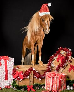 This was one of the more challenging shoots i have had in my career. A very feisty miniature that loved to bite the decorations! after clearing a zone for him to stand in we managed to get a shot or two. Miniature Horses, Miniature Christmas, Career, Merry, Miniatures, Photoshoot, Decorations, Instagram, Carrera