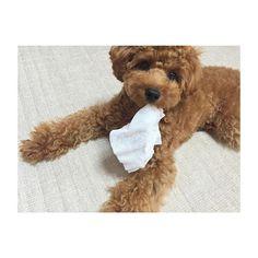 . . . なんでも、くわえたら離さないぞぉ〜🐶❤️ . 昔は、おみみ短くって、男の子みたい(笑)次の トリミング✂️で、またおみみ短くてしょうかなぁ?! . . . #coto #family #愛犬 #pet #love #トイプードル #成長記録 #camera #cute #犬バカ部 #dog #smile #happy #だいすき #poodle #good #picture #お気に入り #かわいい #ラインスタンプ #写真撮ってる人と繋がりたい #カメラ女子 #カメラ好きな人と繋がりたい #カメラ