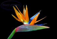I fell in love with the Bird of Paradise flower at my Grandpa Troup's funeral.  I was 8 years old. I know, odd connection. But that was the first time I had ever seen a flower like that. It was stunning! It was so bright! The stem was thick, and the flower petals... just so sci-fi amazing to me!  My parents let me take one home.  It lived in the back window of our car from Michigan to Kentucky. I was very sad when it 'died'.