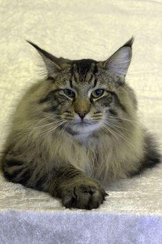Memphis Blues - Norwegian Forest Cat