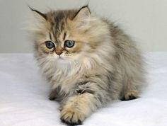 Chinchilla Cat | Chinchilla Persian cats daily beauty 3 Chinchilla Persian cats…