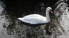 A swan in the pond at St Germain de Livet