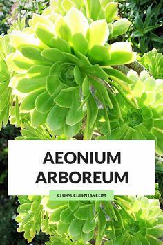 ▷ Aeonium Arboreum: ¡Cuidados y curiosidades! Echeveria, Aeonium Kiwi, Terrarium Plants, Bonsai Plants, Succulent Terrarium, Garden Plants, Succulent Names, Cacti And Succulents, Indoor Bonsai