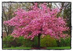 CHERRY DOUBLE PINK ( Prunus Kanzan)