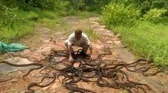 Crazy Moment Snake catcher releases Hundreds of Rat Snakes