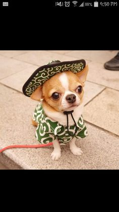 Mexican chihuahua, ay, ay, ay, ay, canta no llores....a little mexican song for this li'l chi chi!