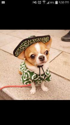 Mexican chihuahua, ay, ay, ay, ay, canta no llores....a little mexican song for this li'l chi chi!