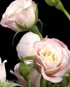 Cremita Spray Rose