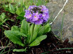 Kugelprimel (Primula denticulata) 'blue select'