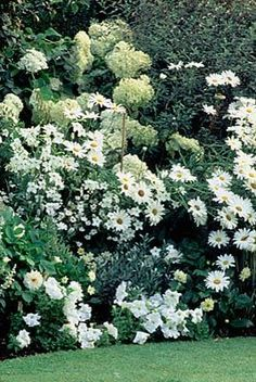 White hydrangea behind chrysanthemum superbum 'Elizabeth,' nicotiana (flowering tobacco), sylvestris white (salvia), and convulvulus creorum (silverbush). Clive Nichols Photographer