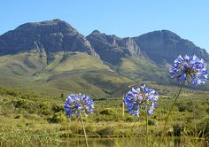 Agapanthus Africanus, Somerset West, Nature Reserve, Amazing Nature, South Africa, Tourism, Landscapes, Places To Visit, Mountains