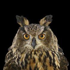 Brad Wilson owl portraits
