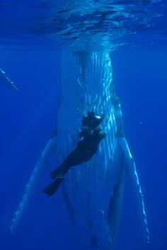 Vava'u, Tonga. Whale upright with diver. Only place in the world you can swim with whales.