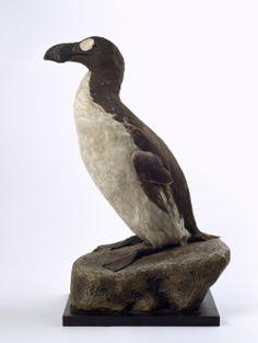 """L' Alca Impenne (Pinguinus Impennis) è un grosso uccello inabile al volo alto fino a 75 cm vissuto in Alaska,Antartide e sulle Coste del Mediterraneo che viene classificato con il Genere Pinguinus.  L' areale di questo """"Pinguino"""" andava dall' Oceano Atlantico Settentrionale al Mediterraneo.  Gli ultimi due esemplari furono uccisi il 3 Luglio 1844,quando fu dichiarata l' estinzione. Nel corso del 1852 ne fù avvistato un' esemplare al largo delle Newfoundland Banks,in Canada."""