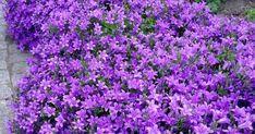 Maviş çiçeği bakımı,Camapanula bakımı,maviş çiçeği nasıl çoğaltılır. Plants, House, Home, Plant, Homes, Planets, Houses