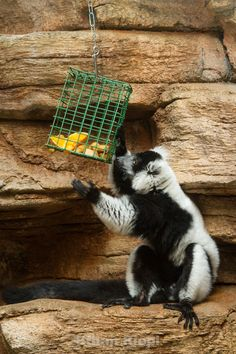 Suet Feeder for Black And White Ruffed Lemur at Saint Louis Zoo.