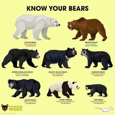 Know Your Bears, and Giant Panda (more closely related to the Racoon) Especie Animal, Animal Facts, Mundo Animal, Nature Animals, Animals And Pets, Cute Animals, All About Animals, Animals Of The World, Teddy Bear Cartoon