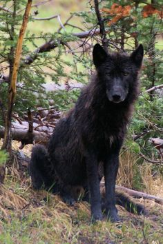 Magnificent black wolf. He, and others like him, need our protection. Thanks to Defenders of Wildlife (FB)