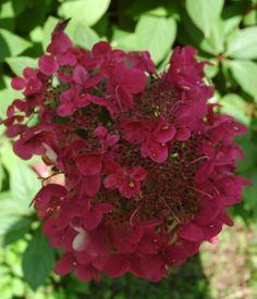 hydrangea paniculata wim's red® ou hortensia arbustif paniculé rouge wim's red pot 4 litres