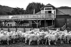 131023 sheep b&w