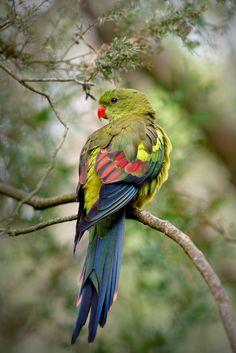 Regent Parrot (Polytelis Anthopeplus) at Cleland Wildlife Park, Adelaide Hills, South Australia. Pretty Birds, Beautiful Birds, Animals Beautiful, Cute Animals, Beautiful Pictures, Kinds Of Birds, All Birds, Love Birds, Exotic Birds