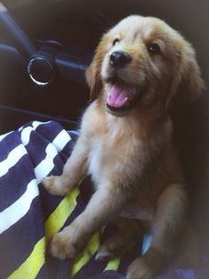 Golden retriever puppy. I am in love ! What a cutie!