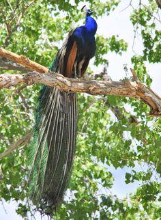 Queenly Peacock by eldancer1