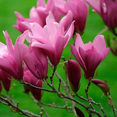 Magnolia 'Ann' (Little Girl hybrid magnolia) Ann Magnolia This could be considered a shrub but with a height up to 20 feet I am adding it to the ornamental tree list. Flowers later than Star Magnolia, so avoids most frost damage.