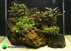 Small Buce on rock tank