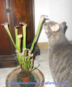 pianta carnivora sarracenia http://vivereebenessere.altervista.org/pianta-carnivora-sarracenia/