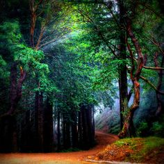 Mystical Forest; Mill Valley, California.
