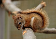 Een rode eekhoorn