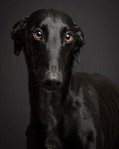 Mamba #galgo #sighthound #greyhound #doglover #dogphotography #dogsofinstagram #dogstagram #sighthoundlove #ohmydogmag #blackgalgo…