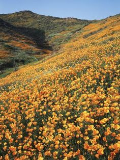 Retro Wallpaper Discover California Lake Elsinore Field of California Poppys on the Hillside Photographic Print by Christop Photographic Print: California Lake Elsinore Field of California Poppys on the Hillside by Christopher Talbot Frank : Nature Aesthetic, Flower Aesthetic, Aesthetic Collage, Aesthetic Vintage, Belle Aesthetic, Aesthetic Plants, Orange Aesthetic, Summer Aesthetic, Bedroom Wall Collage