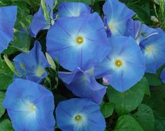 """Heavenly Blue"" morning glory"