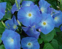 """Heavenly Blue"" morning glory"